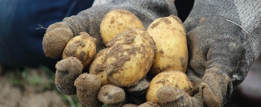Die Kartoffeldiät soll beim Abnehmen helfen.
