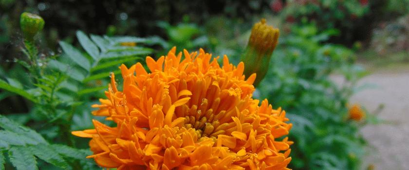 Mayr Kur Blume
