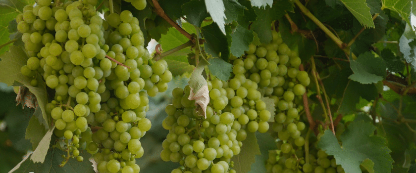 Grüne Weintrauben