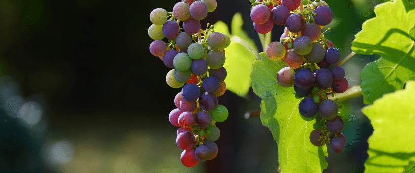 Rote und Grüne Weintrauben