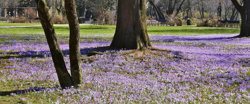 Wiese voller lila farbener Blüten
