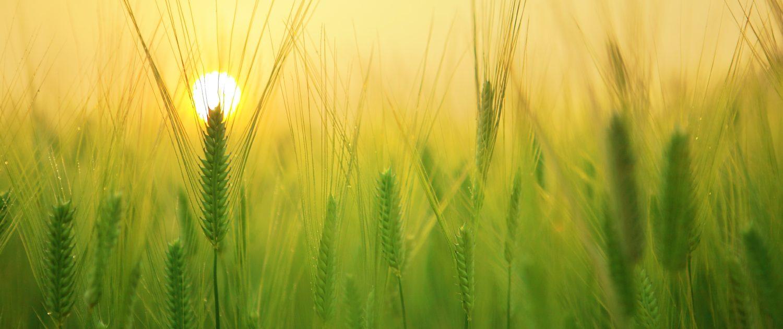Um Weizengrass Pulver herzustellen, muss der Rohstoff gezogen und verarbeitet werden – mit einem Entsafter lässt sich auch ein Getränk draus machen.